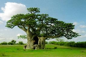 Un bellissimo baobab in Africa