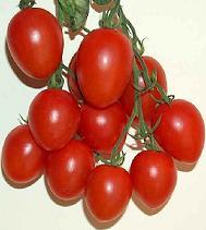 Pomodori coltivati nell'orto